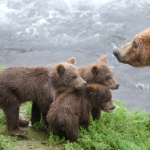 mama bear and cubs